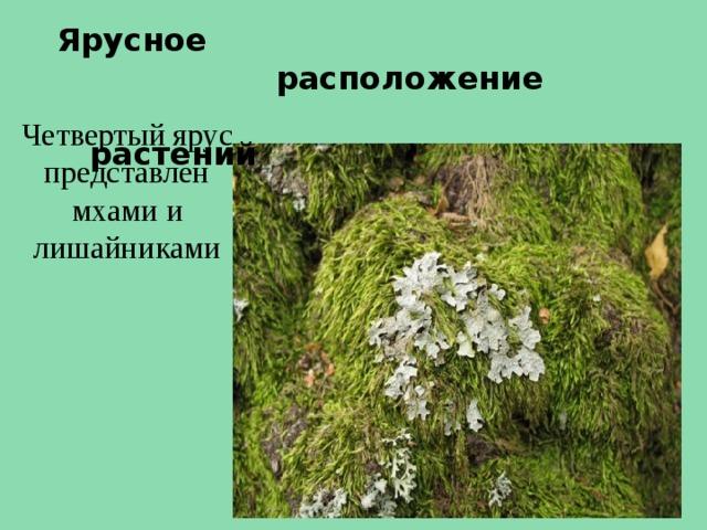 Ярусное  расположение  растений Четвертый ярус представлен мхами и лишайниками