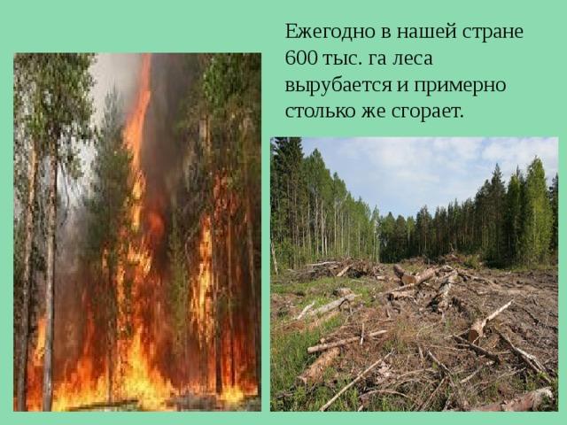 Ежегодно в нашей стране 600 тыс. га леса вырубается и примерно столько же сгорает.
