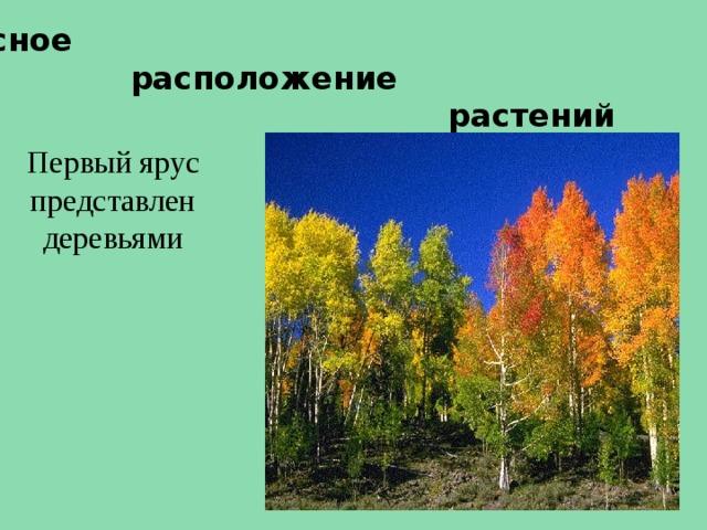 Ярусное  расположение  растений Первый ярус представлен деревьями