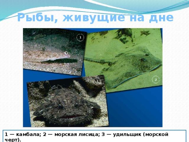 Рыбы, живущие на дне 1 — камбала; 2 — морская лисица; 3 — удильщик (морской черт).