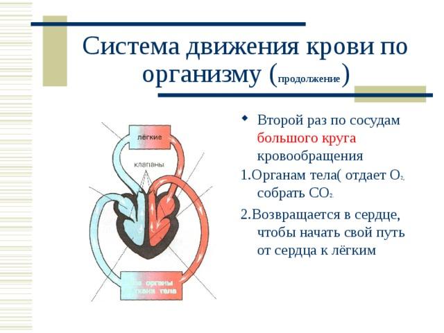Система движения крови по организму ( продолжение ) Второй раз по сосудам большого круга кровообращения 1.Органам тела( отдает О 2, собрать СО 2. 2.Возвращается в сердце, чтобы начать свой путь от сердца к лёгким