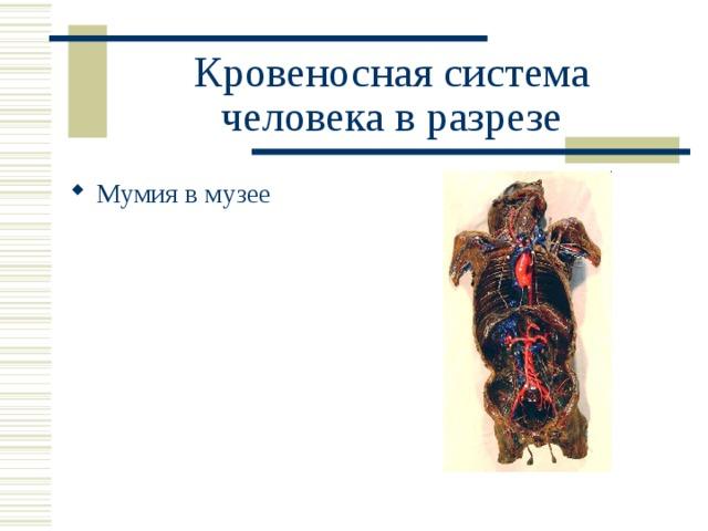Кровеносная система человека в разрезе