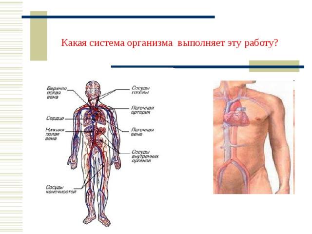 Какая система организма выполняет эту работу?
