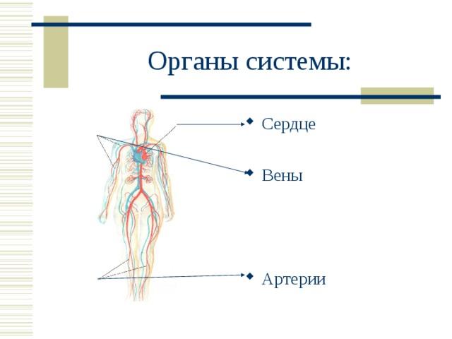 Органы системы:
