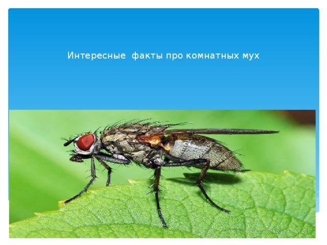 Интересные факты про комнатных мух