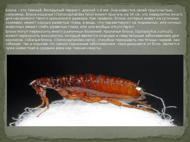 Блоха – это темный, бескрылый паразит, длиной 1-9 мм. Она известна своей прыгучестью, например, блоха кошачья (Ctenocephalides felis) может прыгать на 34 см, что невероятно много для насекомого такого крошечного размера. Как правило, блохи, которые живут на суточных хозяевах, имеют хорошо развитые глаза, а виды, что паразитируют на подземных, или ночных животных имеют слабо развитые глаза, или они вообще отсутствуют. Блохи могут переносить много различных болезней. Кроличья блоха, (Spilopsyllus cuniculi), может переносить миксоматоз, который является опасным и смертельным заболеванием для кроликов. Собачья блоха, (Ctenocephalides canis), способна передавать ленточных червей, как собакам, так и кошкам. Но самым серьезным заболеванием, передающимся от блох, является чума (известная в средние века как Черная смерть).