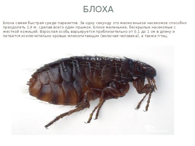 Блоха Блоха самая быстрая среди паразитов. За одну секунду это малюсенькое насекомое способно преодолеть 1,9 м. сделав всего один прыжок. Блохи маленькие, бескрылые насекомые с жесткой кожицей. Взрослая особь варьируется приблизительно от 0,1 до 1 см в длину и питается исключительно кровью млекопитающих (включая человека), а также птиц.