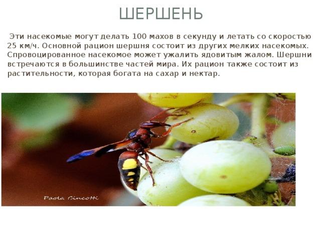 Шершень  Эти насекомые могут делать 100 махов в секунду и летать со скоростью 25 км/ч. Основной рацион шершня состоит из других мелких насекомых. Спровоцированное насекомое может ужалить ядовитым жалом. Шершни встречаются в большинстве частей мира. Их рацион также состоит из растительности, которая богата на сахар и нектар.