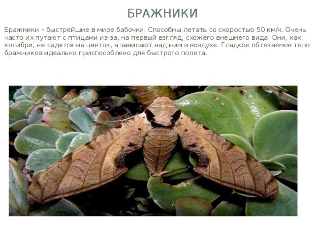 Бражники Бражники – быстрейшие в мире бабочки. Способны летать со скоростью 50 км/ч. Очень часто их путают с птицами из-за, на первый взгляд, схожего внешнего вида. Они, как колибри, не садятся на цветок, а зависают над ним в воздухе. Гладкое обтекаемое тело бражников идеально приспособлено для быстрого полета.
