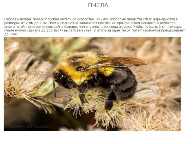 Пчела Набрав нектара, пчела способна лететь со скоростью 30 км/ч. Взрослые представители варьируются в размерах от 2 мм до 4 см. Пчелы полностью зависят от цветов. Их практическая ценность в качестве опылителей является чрезвычайно больше, чем стоимость их меда и воска. Чтобы набрать 1 кг. нектара, пчеле нужно сделать до 150 тысяч вылетов из улья. В итоге за один такой полет насекомое преодолевает до 3 км.