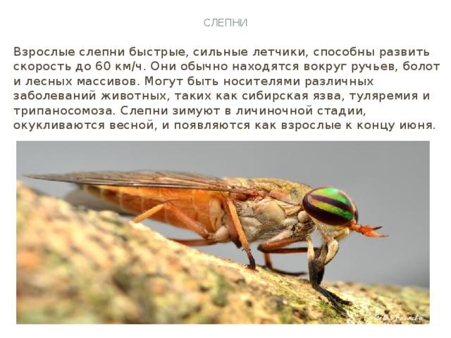 Слепни Взрослые слепни быстрые, сильные летчики, способны развить скорость до 60 км/ч. Они обычно находятся вокруг ручьев, болот и лесных массивов. Могут быть носителями различных заболеваний животных, таких как сибирская язва, туляремия и трипаносомоза. Слепни зимуют в личиночной стадии, окукливаются весной, и появляются как взрослые к концу июня.