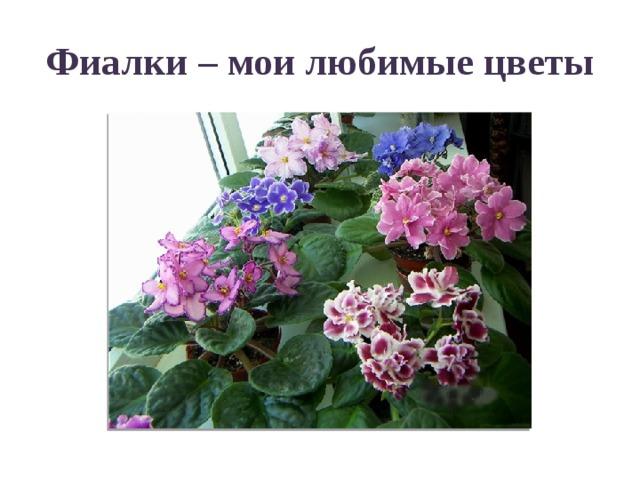 Фиалки – мои любимые цветы