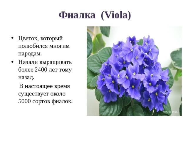 Фиалка (Viola) Цветок, который полюбился многим народам. Начали выращивать более 2400 лет тому назад.  В настоящее время существует около 5000 сортов фиалок.
