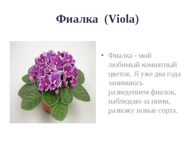 Фиалка (Viola)