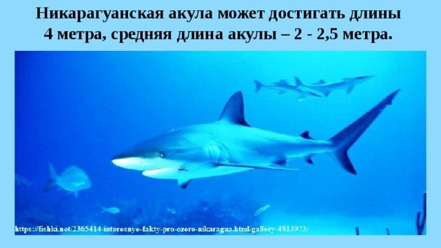 Никарагуанская акула может достигать длины  4 метра, средняя длина акулы – 2 - 2,5 метра.
