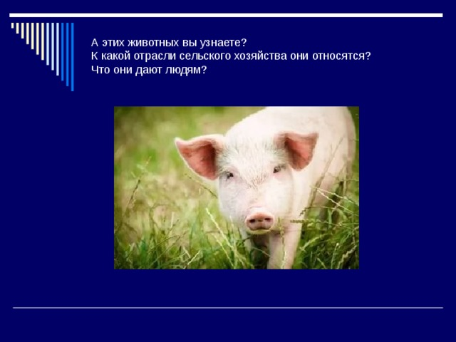 А этих животных вы узнаете?  К какой отрасли сельского хозяйства они относятся?  Что они дают людям?