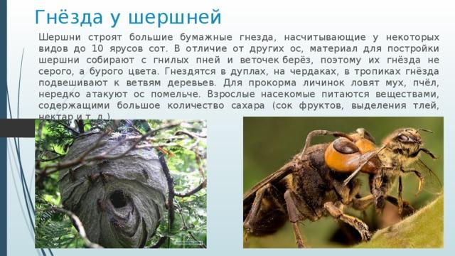 Гнёзда у шершней Шершни строят большие бумажные гнезда, насчитывающие у некоторых видов до 10 ярусов сот. B отличие от других ос, материал для постройки шершни собирают с гнилых пней и веточекберёз, поэтому их гнёзда не серого, а бурого цвета. Гнездятся в дуплах, на чердаках, в тропиках гнёзда подвешивают к ветвям деревьев. Для прокорма личинок ловят мух, пчёл, нередко атакуют ос помельче. Взрослые насекомые питаются веществами, содержащими большое количество сахара (сок фруктов, выделения тлей, нектар ит.д.).