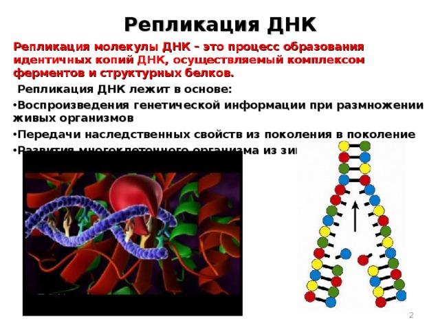 Репликация ДНК Репликация молекулы ДНК – это процесс образования идентичных копий ДНК, осуществляемый комплексом ферментов и структурных белков.  Репликация ДНК лежит в основе: Воспроизведения генетической информации при размножении живых организмов Передачи наследственных свойств из поколения в поколение Развития многоклеточного организма из зиготы