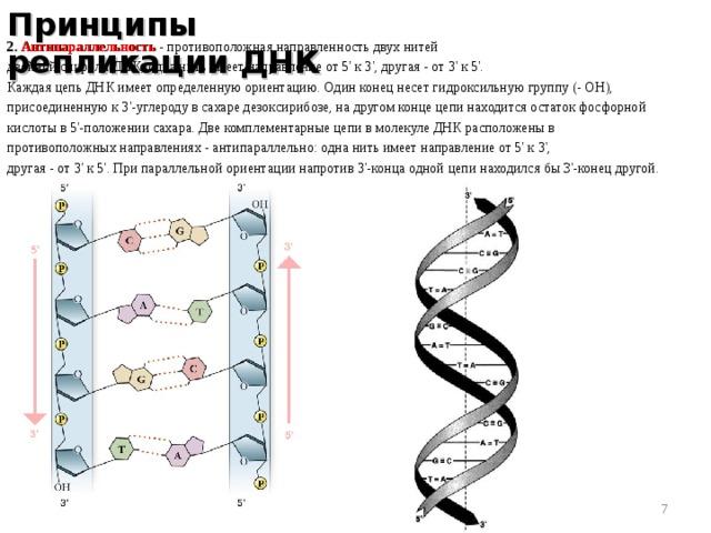 Принципы репликации ДНК 2. Антипараллельность  - противоположная направленность двух нитей двойной спирали ДНК; одна нить имеет направление от 5' к 3', другая - от 3' к 5'. Каждая цепь ДНК имеет определенную ориентацию. Один конец несет гидроксильную группу (- ОН), присоединенную к 3'-углероду в сахаре дезоксирибозе, на другом конце цепи находится остаток фосфорной кислоты в 5'-положении сахара. Две комплементарные цепи в молекуле ДНК расположены в противоположных направлениях - антипараллельно: одна нить имеет направление от 5' к 3', другая - от 3' к 5'. При параллельной ориентации напротив 3'-конца одной цепи находился бы З'-конец другой.