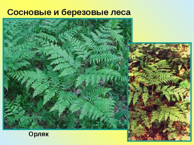 Сосновые и березовые леса Орляк