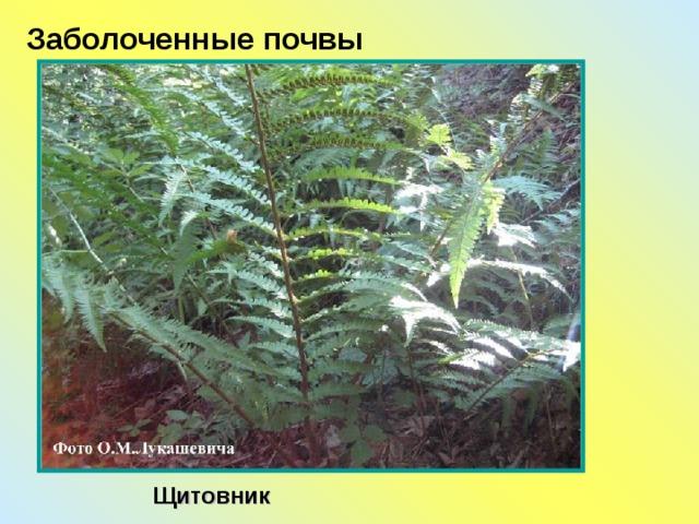 Заболоченные почвы Щитовник