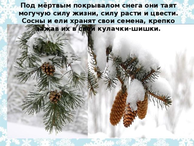 Под мёртвым покрывалом снега они таят могучую силу жизни, силу расти и цвести. Сосны и ели хранят свои семена, крепко зажав их в свои кулачки-шишки.