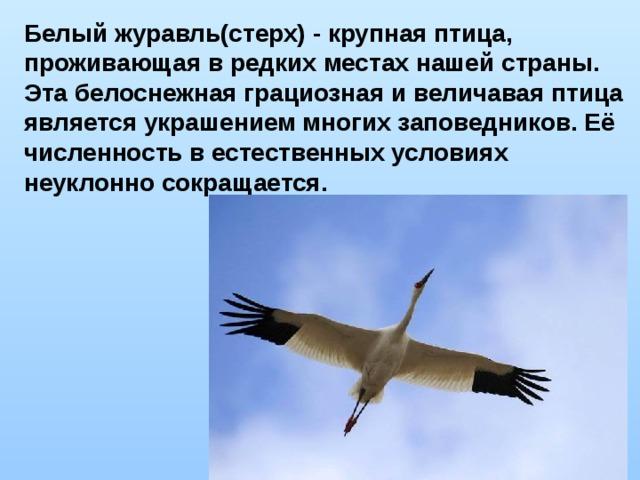 Белый журавль(стерх) - крупная птица, проживающая в редких местах нашей страны. Эта белоснежная грациозная и величавая птица является украшением многих заповедников. Её численность в естественных условиях неуклонно сокращается.