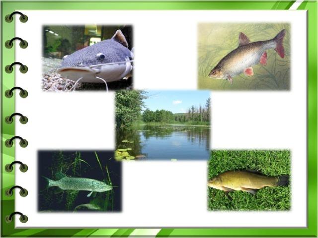 1 Как называется рыба, которую кот поймал третьей по счёту? 2 Демонстрация картинки с сомом. 3 Каких рыб вы знаете? 4 Демонстрация картинок рыб, обитающих в реке Битюг: щука, язь, линь.