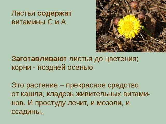 Листья содержат витамины С и А. Заготавливают листья до цветения; корни - поздней осенью. Это растение – прекрасное средство от кашля, кладезь живительных витами- нов. И простуду лечит, и мозоли, и ссадины.