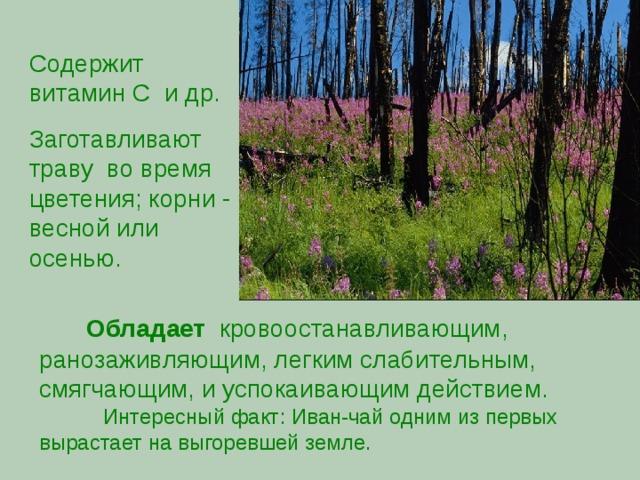 Содержит витамин С и др. Заготавливают траву во время цветения; корни - весной или осенью.  Обладает кровоостанавливающим, ранозаживляющим, легким слабительным, смягчающим, и успокаивающим действием.  Интересный факт: Иван-чай одним из первых вырастает на выгоревшей земле.