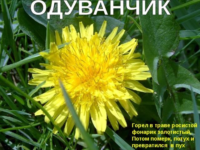 Горел в траве росистой фонарик золотистый, Потом померк, потух и превратился в пух