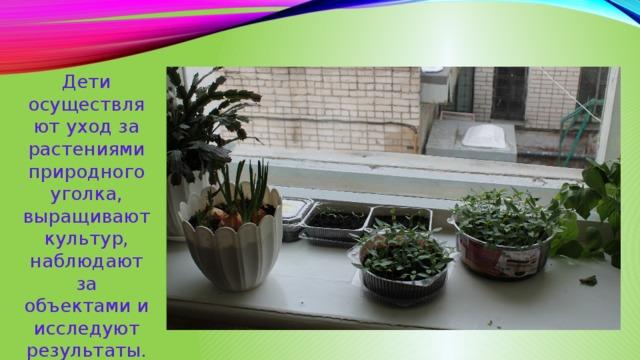 Дети осуществляют уход за растениями природного уголка, выращивают культур, наблюдают за объектами и исследуют результаты.