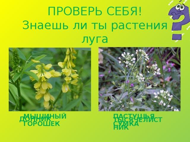 ПРОВЕРЬ СЕБЯ!  Знаешь ли ты растения луга МЫШИНЫЙ ГОРОШЕК ПАСТУШЬЯ СУМКА ДОННИК ТЫСЯЧЕЛИСТНИК