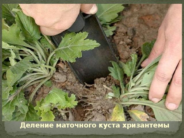 Деление маточного куста хризантемы