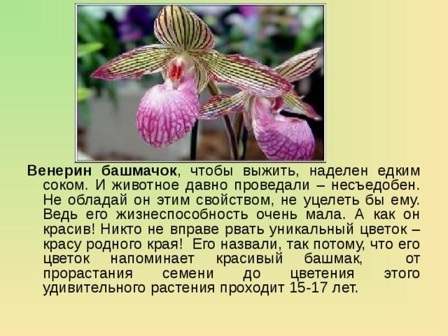 Венерин башмачок , чтобы выжить, наделен едким соком. И животное давно проведали – несъедобен. Не обладай он этим свойством, не уцелеть бы ему. Ведь его жизнеспособность очень мала. А как он красив! Никто не вправе рвать уникальный цветок – красу родного края! Его назвали, так потому, что его цветок напоминает красивый башмак, от прорастания семени до цветения этого удивительного растения проходит 15-17 лет.