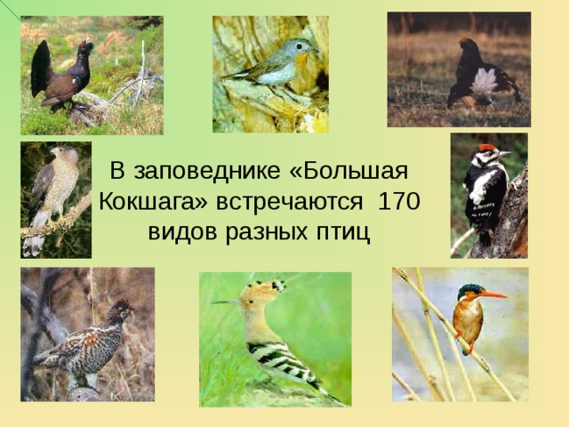 В заповеднике «Большая Кокшага» встречаются 170 видов разных птиц