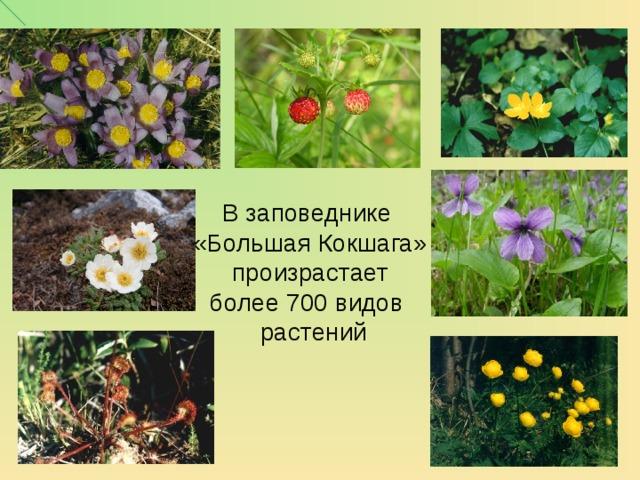 В заповеднике «Большая Кокшага» произрастает  более 700 видов  растений