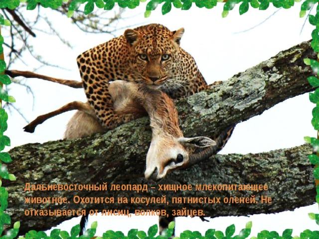 Дальневосточный леопард – хищное млекопитающее животное. Охотится на косулей, пятнистых оленей. Не отказывается от лисиц, волков, зайцев.