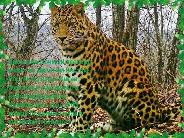Дальневосточный леопард живёт на Дальнем Востоке России и севере Китая. Животные находятся в небольшом районе приморского края (РФ), между Владивостоком и китайской границей.