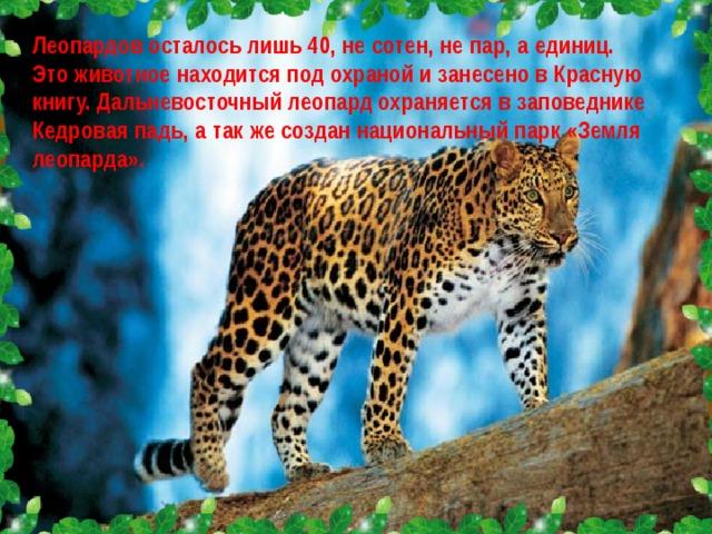 Леопардов осталось лишь 40, не сотен, не пар, а единиц. Это животное находится под охраной и занесено в Красную книгу. Дальневосточный леопард охраняется в заповеднике Кедровая падь, а так же создан национальный парк «Земля леопарда».