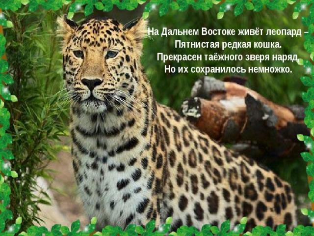 На Дальнем Востоке живёт леопард – Пятнистая редкая кошка. Прекрасен таёжного зверя наряд, Но их сохранилось немножко.