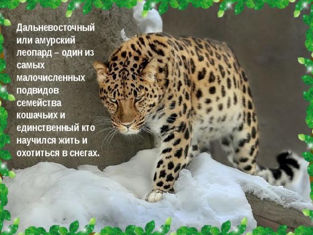 Дальневосточный или амурский леопард – один из самых малочисленных подвидов семейства кошачьих и единственный кто научился жить и охотиться в снегах.