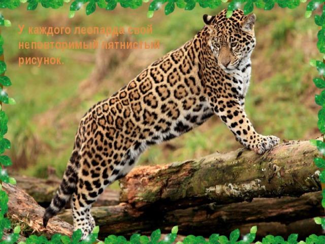 У каждого леопарда свой неповторимый пятнистый рисунок.