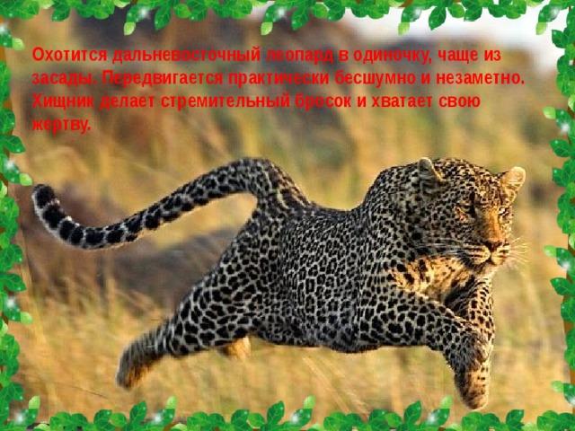 Охотится дальневосточный леопард в одиночку, чаще из засады. Передвигается практически бесшумно и незаметно. Хищник делает стремительный бросок и хватает свою жертву.