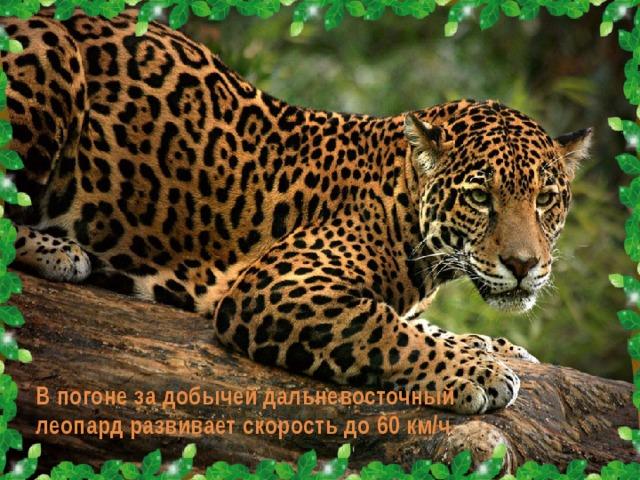 В погоне за добычей дальневосточный леопард развивает скорость до 60 км/ч.