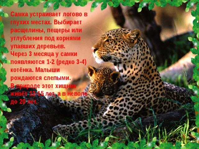Самка устраивает логово в глухих местах. Выбирает расщелины, пещеры или углубления под корнями упавших деревьев. Через 3 месяца у самки появляются 1-2 (редко 3-4) котёнка. Малыши рождаются слепыми. В природе этот хищник живёт 12-15 лет, а в неволе до 20 лет.