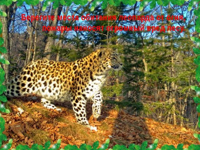 Берегите места обитания леопарда от огня, пожары наносят огромный вред лесу.