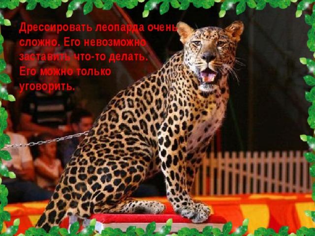 Дрессировать леопарда очень сложно. Его невозможно заставить что-то делать. Его можно только уговорить.