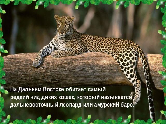 На Дальнем Востоке обитает самый редкий вид диких кошек, который называется дальневосточный леопард или амурский барс.
