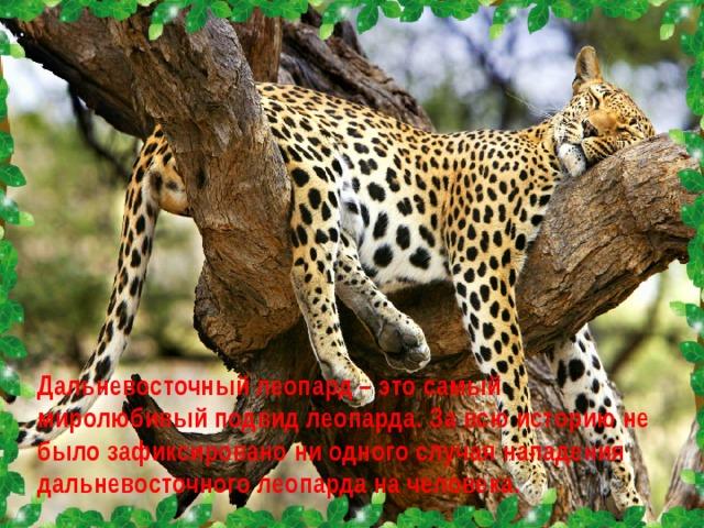 Дальневосточный леопард – это самый миролюбивый подвид леопарда. За всю историю не было зафиксировано ни одного случая нападения дальневосточного леопарда на человека.